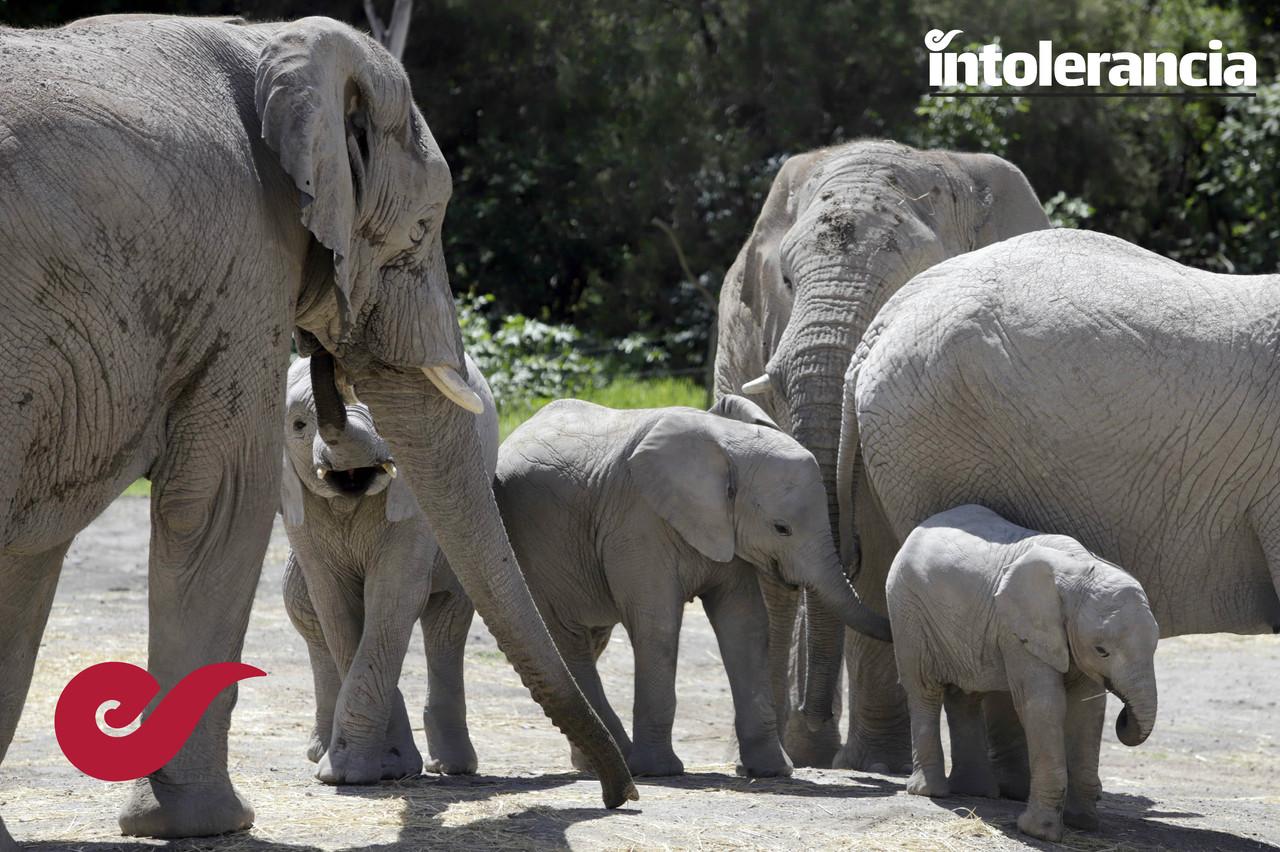 Foto: Agencia Enfoque (Día del Elefante)